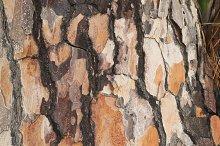Pine trunk