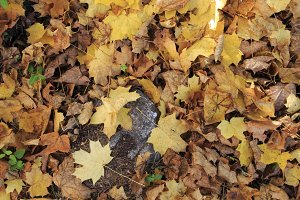 Dry leaves at fall