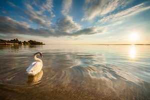 Sunset on the lake with a swan
