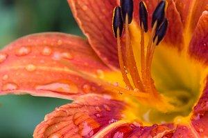 Orange Daylily in June