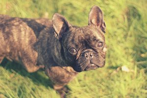 Brown French Bulldog Portrait