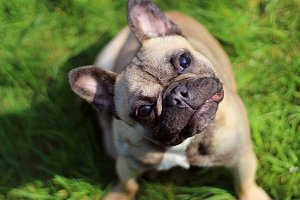 Fawn French Bulldog Portrait