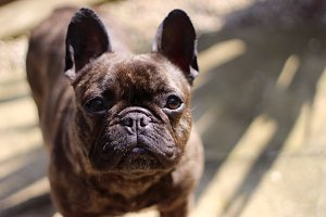 Brindle French Bulldog Portrait