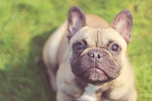 Fawn French Bulldog in Grass