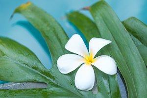 Frangipani Plumeria flower tropical pool