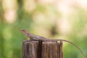 Changeable lizard on tree.