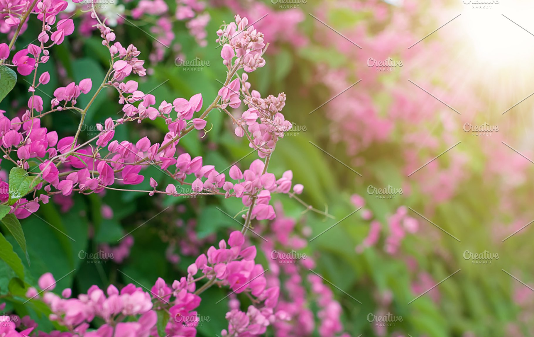 Mexican Creeper Flower Or Antigonon Leptopus In The Rays Of The
