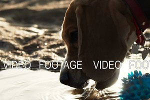 active and energetic pet dog beagle drink water while playing with ball during sunset
