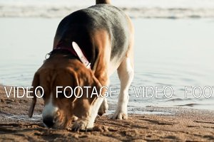 active and energetic pet dog beagle run fast, play lively with ball during sunset