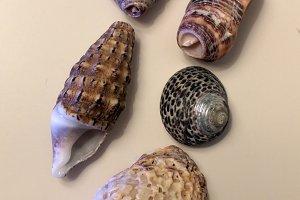 Luminescent sea shells
