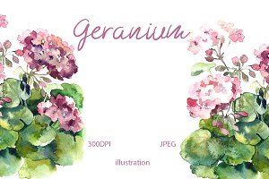 Watercolor geranium pelargonium
