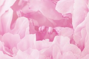 Closeup macro of pink flower