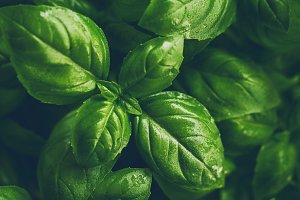 Closeup macro of green fresh basil