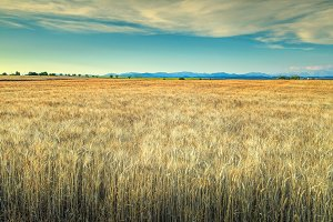 Gold wheat field in Provence