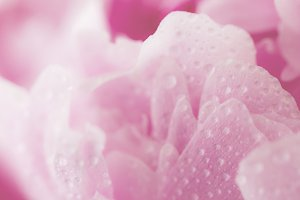 Macro of beautiful pink flower