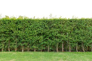 hedge fence or Green Leaves Wall