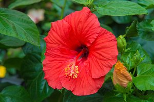 Fresh hibiscus red flower