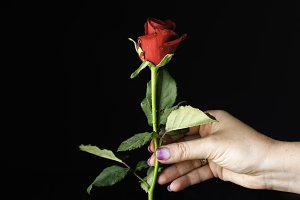 Little red rose in female hand on a black background, selective focus, concept