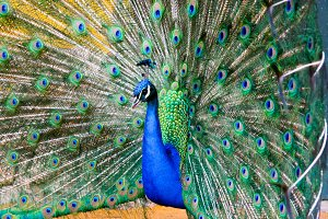 Beautiful peacock.jpg