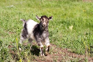 One little kid goat is grazing on the grass
