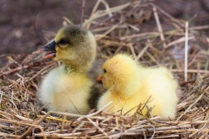 Two little domestic gosling in straw nest