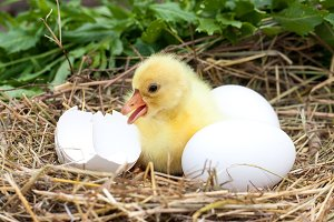 Cute little domestic gosling with broken eggshell and eggs in straw nest