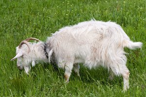 One white goat grazing on green grass in a field