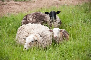 Three sheep resting on green grass in spring