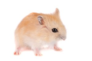 Little funny hamster isolated on white background