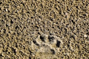 A dog's track in the sand. A dog was walking along the seashore and left traces in the sand.