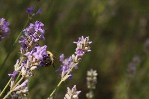 Bee in lavendar