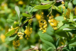 Branch of a blossoming barberry. Yellow flowers of barberries on bush. Selective focus, shallow DOF