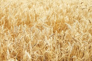 golden fully ripe wheat field