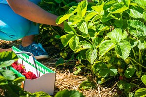 Women picking of fresh organic strawberry in the field