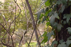 Ivy Forest Plants
