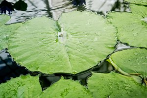 Tropical lily pad