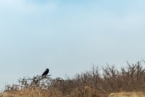 Crow in the dunes