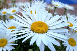 Close up daisy in the garden