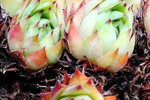 Delicate toothed succulent plants