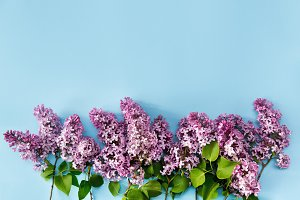 Lilac flowers on blue background