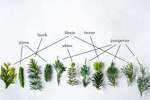 Branches of coniferous plants