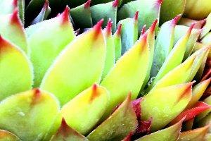 Delicate toothed succulent plants,