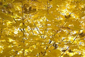 Yellow leaves at autumn