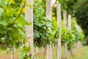 vineyard rows in spring