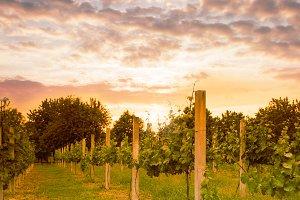 vineyard on sunset