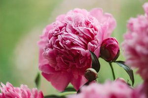 Bunch of bright pink peonies