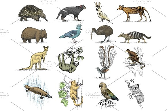 big set of australian and new zealand symbols animal engraved hand drawn vector
