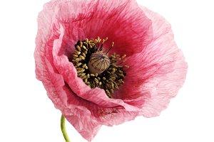 Flower head. Poppy.
