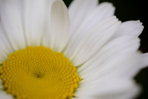 Close-up Daisy