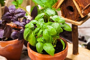 Growing Basil Herb Plants in Pot